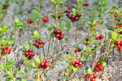 Glade cranberries Royalty Free Stock Photography