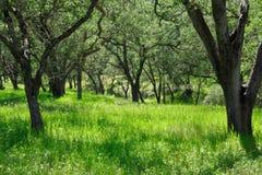 Glade da árvore de carvalho Foto de Stock