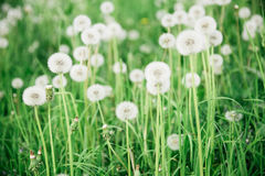 Glade of dandelions. Glade, covered tall grass mixed by dandelions with ripe downy seed heads closeup Stock Photo