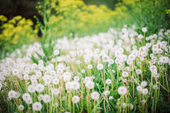 Glade of dandelions. Glade, covered tall grass mixed by dandelions with ripe downy seed heads closeup Royalty Free Stock Photo