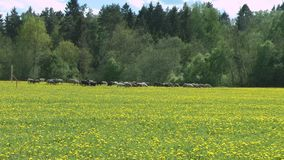 Glade of dandelions with sheeps. HD stock video footage