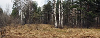 Glade della foresta della sorgente Immagine Stock Libera da Diritti