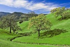 Glade della quercia Fotografia Stock