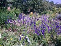 Glade с delphiniums Стоковое Изображение