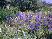 Glade with delphiniums Stock Image