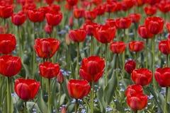 Glade dos tulips Fotos de Stock
