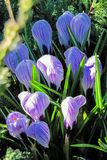 Glade of flowering crocuses royalty free stock image