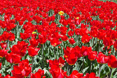 Glade of flowering tulips. A bright view of the glade of flowering tulips, will be an excellent solution for decorating a postcard or background royalty free stock photography