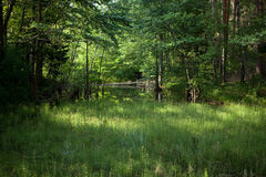 Glade in the forest. Glade full of meadow horsetails in the forest stock photography
