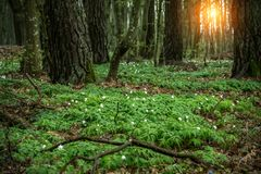 Glade in the forest with snowdrops at sunset royalty free stock photos
