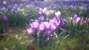 Glade in the forest with spring  flowers. Crocuses and snowdrops. Relax. stock footage