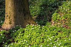 Glade in the forest with white flowers Stock Photos