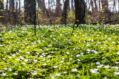 Glade in the forest with white flowers Stock Image