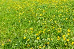 Glade of fresh dandelions on a sunny spring day. Flowering dandelions. Excellent background for the expression of spring mood stock image
