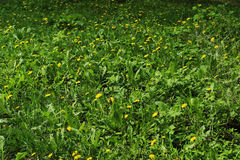 Glade, grass, dandelions. Yellow dandelions in the flowering season on a green glade, spring Stock Photo