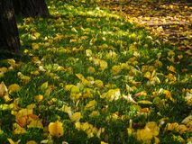 Lawn with green grass and yellow leaves. Glade with green grass and fallen leaves royalty free stock photo