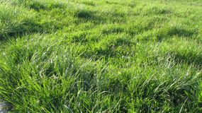 Glade of juicy green grass. The usual green grass on the meadow, bright green lawn lighting Stock Image