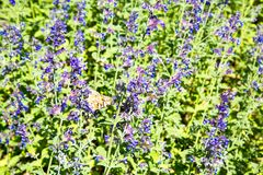 Glade of lavender lilac flowers on a clear Sunny day. Selective focus. Design backgrounds texture stock images