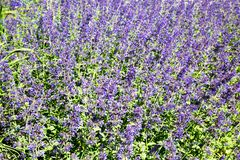 Glade of lavender lilac flowers on a clear Sunny day. Selective focus. Design backgrounds texture stock photos