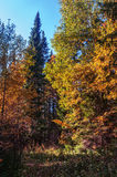 Glade Lesna osennyayayu, yellow colors against the blue sky. Bright autumn landscape, yellow maple leaves.  trees in a meadow Royalty Free Stock Photos
