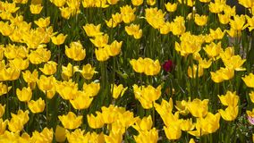 Glade of yellow tulips. Glade with many yellow tulips stock video footage