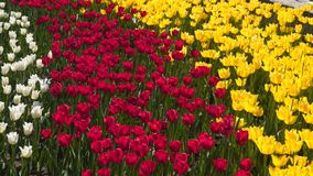 Glade with multicolored tulips. White, red and yellow tulips stock footage
