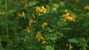 Glade overgrown with grass in the forest. The glade is strewn with yellow wild flowers. Sun rays make their way through the grass. stock footage