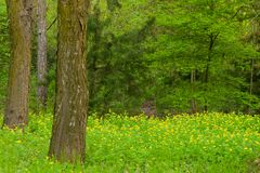 Glade in a pine forest with blooming yellow flowers. Idillic place Royalty Free Stock Photography