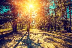 Glade in the pine forest. On a sunny day stock images