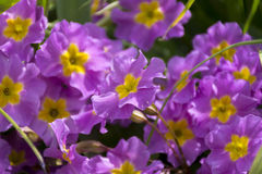 Glade of pink flowers with yellow cores, primroses. Plants Royalty Free Stock Photo