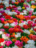 Glade of red, pink, orange and white fresh tulips Stock Photos