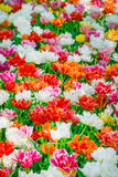 Glade of red, pink, orange and white fresh tulips Stock Photography