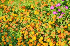 Glade with a scattering. Of bright orange flowers Stock Photo