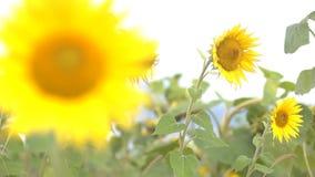 Glade solrosmålningar Royaltyfri Fotografi