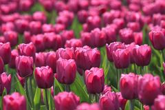 Glade of tulips Royalty Free Stock Image