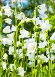 Glade with white bell flower Royalty Free Stock Photo