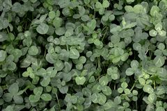 Glade of white clover as an example of  Guerrilla gardening in the city. 15-20 times more efficient than lawn Royalty Free Stock Images
