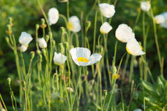 Glade of white poppies. In the morning sun stock photo