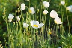 Glade of white poppies Stock Photo