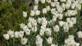 Glade of white tulips. Spring flowers stock video