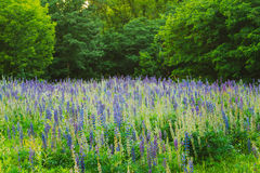 Glade Of Wild Blossom Flowers Lupine In Summer Meadow Field In S Royalty Free Stock Images