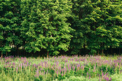 Glade Of Wild Blossom Flowers Lupine In Summer Meadow Field In Sunset Sunrise Stock Images