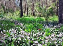 Glade of wild cyclamen Stock Images