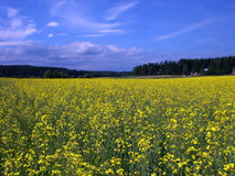 Glade of yellow flowers. Rural landscape - glade of yellow flowers and blue sky Royalty Free Stock Image