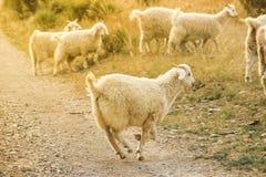 Glade ystra fårhopp över fältet på en solig sommar arkivfoto