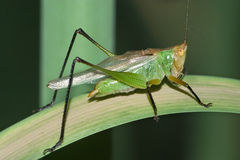 Gladiator Meadow Katydid Stock Image