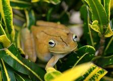 Gladiator Treefrog, Hypsiboas rosenbergi. A giant treefrog in tropical foliage, the uncommon Gladiator Treefrog, Hypsiboas rosenbergi of Costa Rica Stock Photography