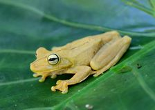 Gladiator Treefrog, Hypsiboas rosenbergi Royalty Free Stock Photo