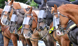 gladiatorhästar royaltyfri foto