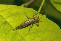 Gladiatorweide katydid op een blad Stock Afbeelding